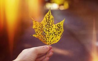 Autumn has come Autumn maple leaf in his hand photo