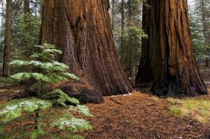 gigantische sequoia-bomen in yosemite