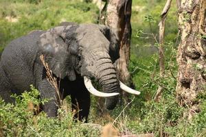 Elefante en el bosque, el cráter del Ngorongoro, la sabana africana, Tanzania, África foto