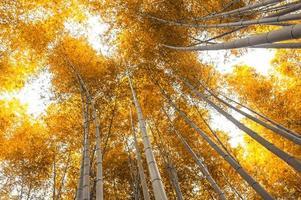 foresta di boschetto di bambù ad arashiyama, kyoto, giappone in autunno