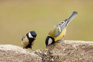 Two Great Tit feed sunflower's seeds on ground