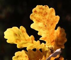 hoja de roble amarillo