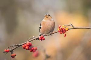 uccello che mangia bacche durante l'autunno