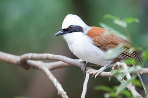 Risa de cresta blanca (Garrulax leucolophus) pájaro possing en árbol foto
