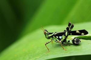 green grasshopper photo