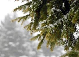 green FIR branch with snow in winter