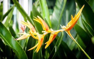 heliconia en el jardín foto