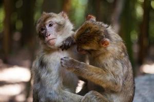simios de Berbería acicalarse unos a otros foto