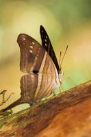 Beautiful brown butterfly, resting on a tree. photo