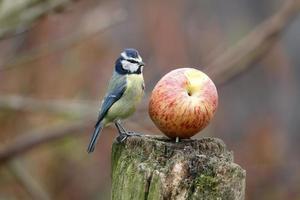 Blue tit, Parus caeruleus photo