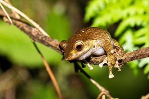 Boophis madagascariensis photo