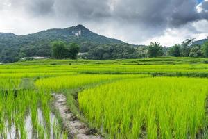 Landscape rice field in chiang mai