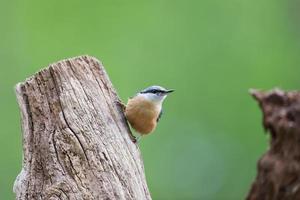 sittelle dans la nature