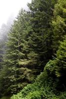 Fog around redwood trees