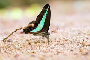 Butterfly common jay eaten mineral on sand. photo