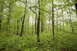 spring green beech wood background