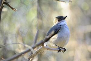 Bird Diucon photo