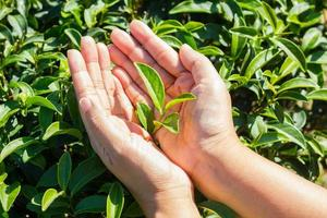 Fresh tea leaves in hands over tea bush on plantation