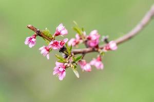 bos van violette appelboomknoppen op groene achtergrond