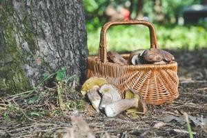 Group of white mushrooms near wicker basket in forest photo