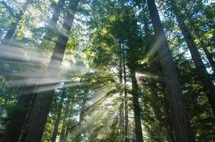 Bright God rays of light in the redwood forest