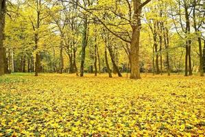 Yellowed leaves on the trees in the autumn forest.