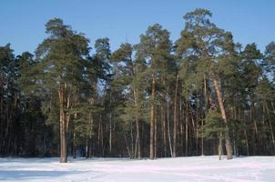 Haute forêt de pins d'hiver sous un ciel bleu sans nuages
