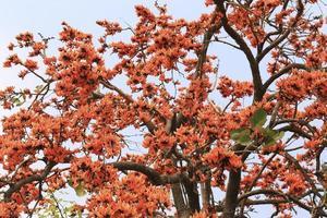 Flame of the forest,Butea monosperma O.Ktze, Leguminosae-Papilio