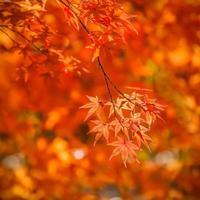 hojas de arce rojo foto
