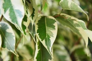 Epipremnum aureum Leaf
