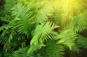 Vintage photo of lush green fern. Pteridium aquilinum