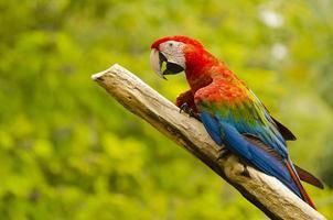 hermoso pájaro guacamayo foto