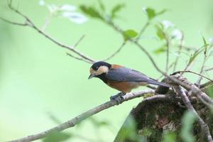 Varied tit on the branch of tree photo