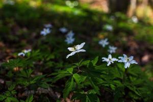 Anémonas silvestres, anemone nemorosa, en un bosque de abedules