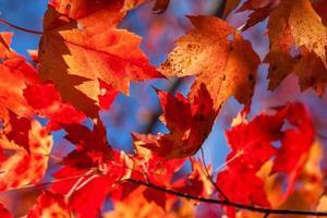 hojas de arce rojo y ámbar bajo el sol
