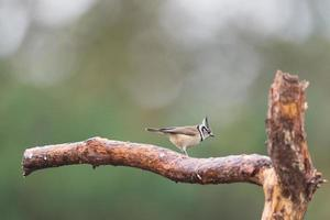 crested tit on branche photo