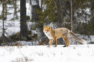raposa vermelha, vulpécula, no inverno
