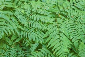 Fern leaves photo
