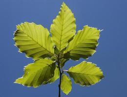 Beech leaves on stick