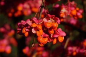 Closeup european spindle tree fruits photo