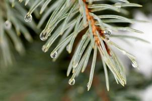 water droplets on the needles of the blue spruce