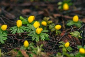 eranthis en la primavera foto