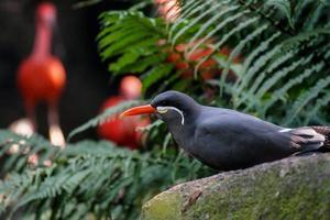 Inca tern Bird photo
