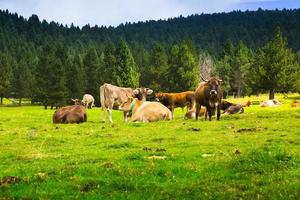 Few cows at meadow photo