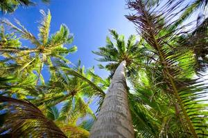 Top of palm trees photo