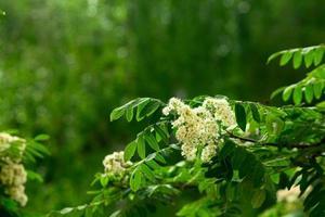 flores de serbal sobre un fondo verde