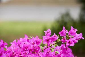 flores de buganvilla rosa foto