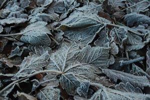 Frost covered leaves photo
