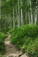 Hiking trail through an aspen grove in Colorado photo