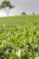 Green tea bud and fresh leaves.